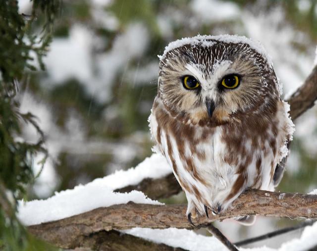 Saw Whet Owl in Cedar