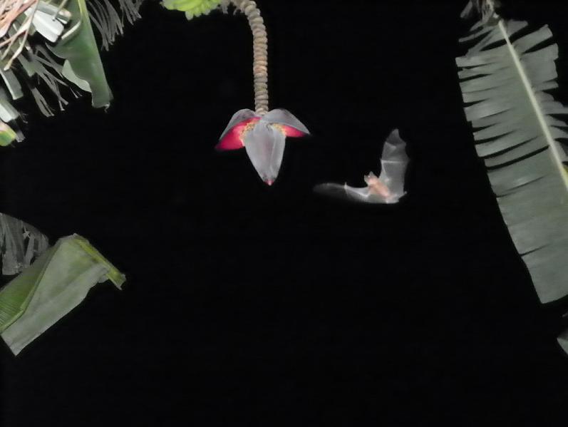 O morcego da bananeira
