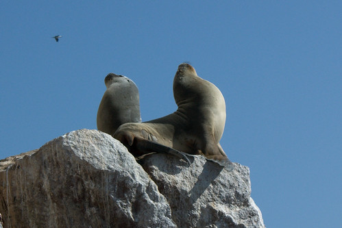 Sea Lions at Ballestos Islands | by comicmuse