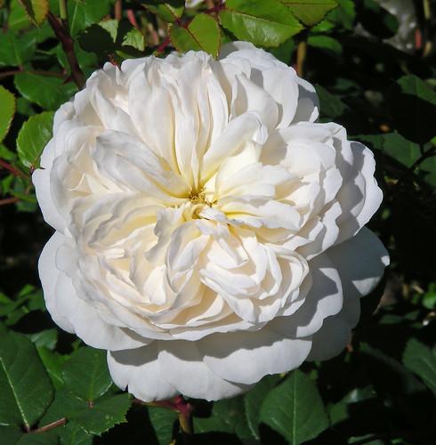 Crocus English Rose | by Clara Johnson