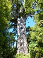 wo, 26/01/2011 - 03:38 - 014. Een kauri boom, 2000 jaar oud
