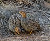 Coqui Francolin (Francolinus coqui) by ruslou (More off than on)