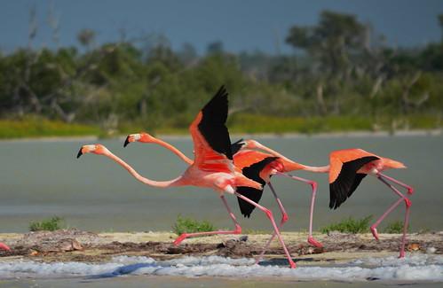 Flamingos at Ría Lagartos