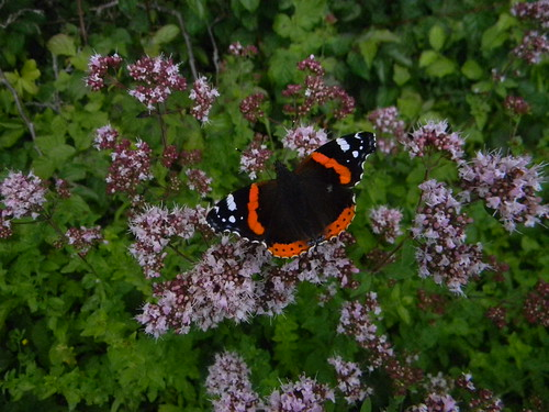 Red Admiral Amberley to Pulborough
