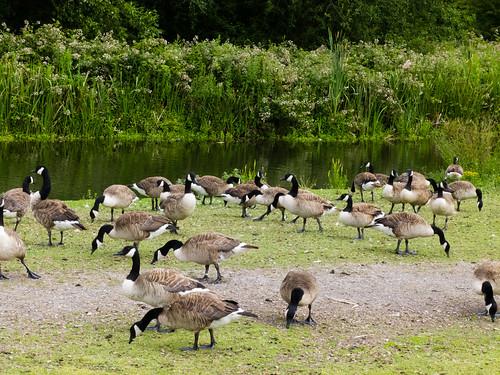 Herd of geese grazing