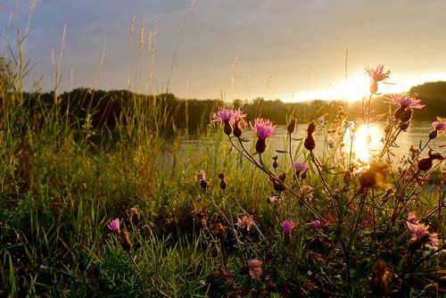 morning pink flowers sunrise river licht glow herbs rosa blumen fluss sonnenaufgang stimmung morgens donau gräser früh lx5