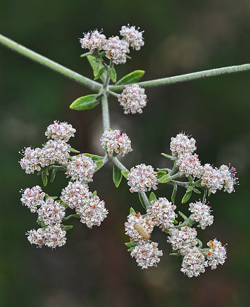 St. Catherine's Lace