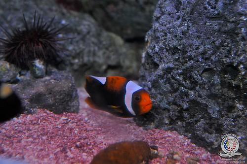 Clown fish-2   by keywest aquarium