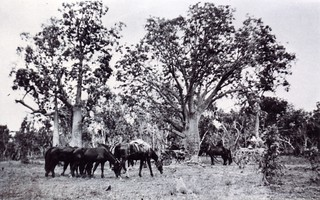 1921 En route from Argyle to Ivanhoe showing baobab trees, conveyances, pack horses and spare horses - KHS-2011-15-16-P2-D | by Kununurra Historical Society