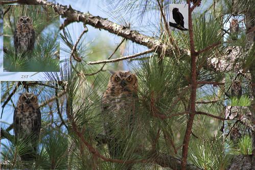 usa bird collage raw florida owl clermont birdofprey greathornedowl bubovirginianus lakelouisastatepark canon7d zeiss100mmf2 tigerowl zeesstof tamron75300telemacro