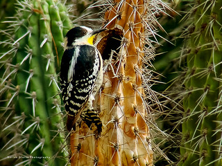Carpintero del cactus / White-fronted Woodpecker | by Karina Diarte de Maidana