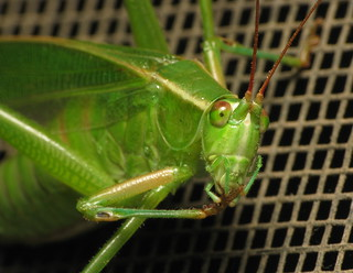 Big Katydid Face | by mschmidt62