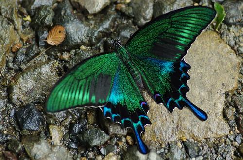 Papilio maackii | by Mushimizu