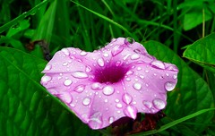 The dew drops in pink
