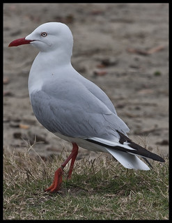 Sea gull with fishing line rapped around leg-1= | by Sheba_Also 16 Million Views