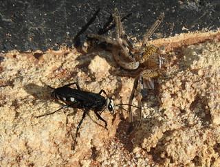 Pomplilidae wasp Neosparassus Huntsman spider IMG4529 | by Bill & Mark Bell
