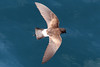 White-vented Storm-petrel 5 by rhysmarsh