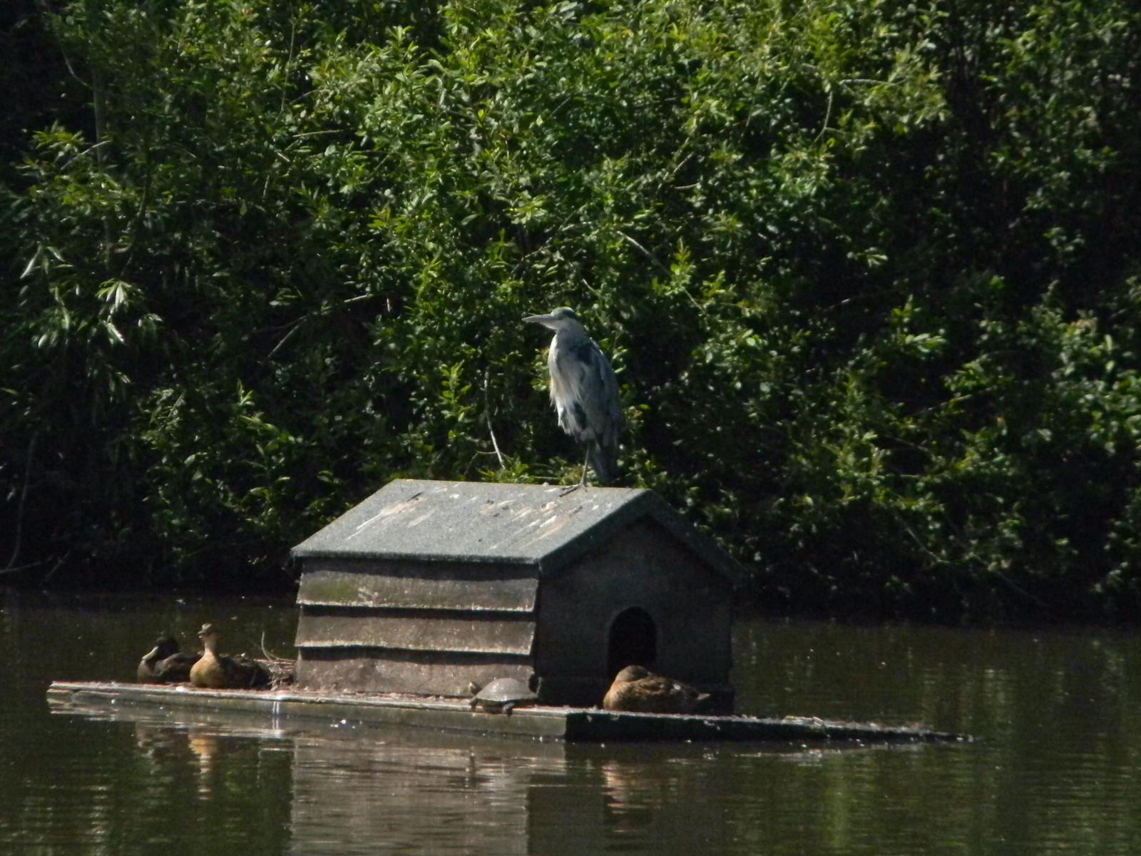 Heron, Mere Pond Merstham to Tattenham Corner