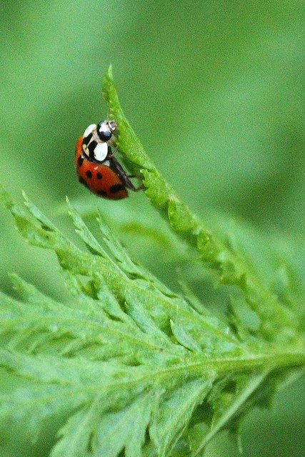 MAP2811 Ladybug Living on the Edge
