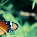 Butterfly by Sally A. Habib