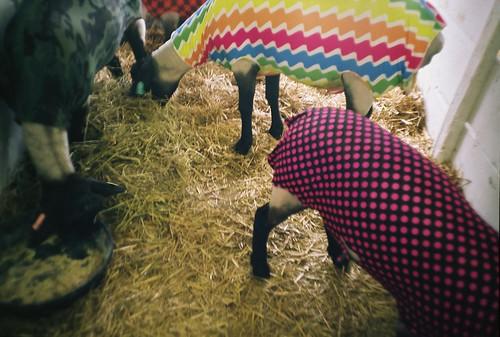 summer film colors analog 35mm sheep july fair lomolca hay 4h livestock 2011 fujireala100 catchycolorsmulti chippewafallswisconsin northernwisconsinstatefair