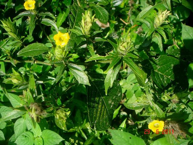 Strobilanthes crispus Blume