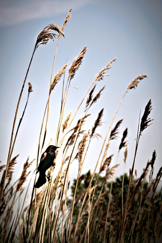 toledo redwingedblackbird toledoohio maumeebaystatepark project365 toledooh byalexsablan