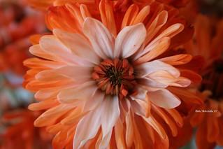 Orange Dahlia   by NaturEscapes Photography