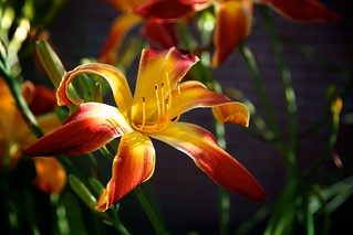 Red and Yellow Lily | by CanWeBowlPlease