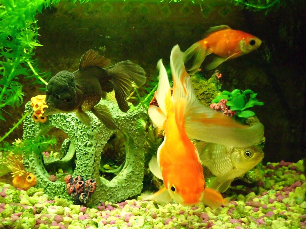 Fancy Goldfish | My four fancy goldfish  Chocolate oranda, b
