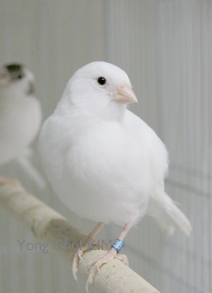 A white fife canary | My cute unflighted white canary blog d