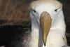 Waved Albatross by rhysmarsh