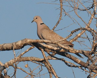 Eurasian Collared Dove (<I>Streptopelia decaocto</I>), San Ygnacio, Texas | by VSmithUK