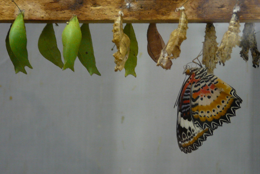 Butterfly and Chrysalises