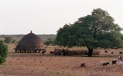Domenico Bruzzone - Niger - A traditional barn and sheep herds in the West African savannah, 2000 [1989764]