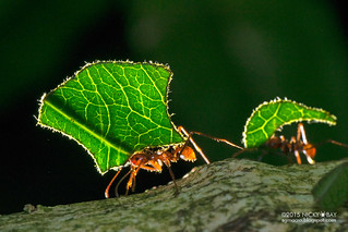 Leaf-cutter ant (Atta sp.) - DSC_9117