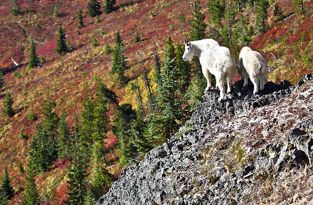 MOUNTAIN GOATS AND FALL COLOR_GIFFORD PINCHOT