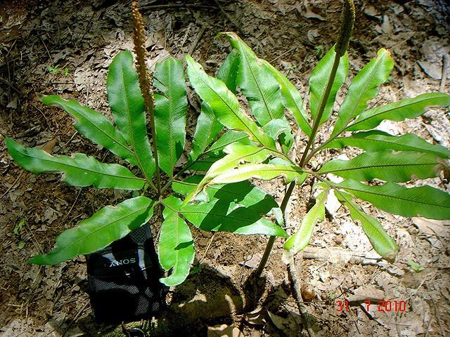 Helminthostachys zeylanica (L.) Hook.