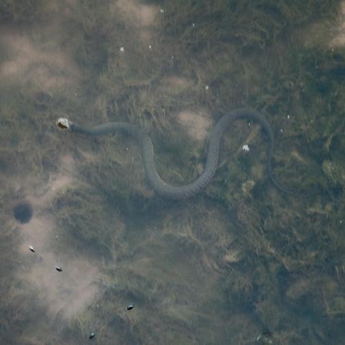 Serpente d'acqua