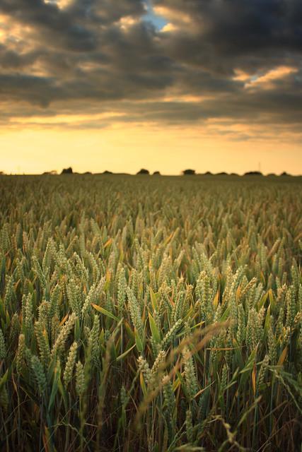 Wheat.......