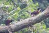 Pteronetta hartlaubii - Hartlaub's Duck by arthurgrosset