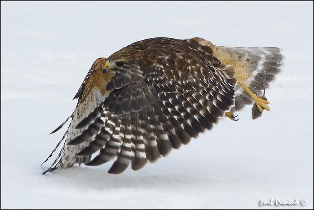 20110120-0148 Red Shouldered Hawk