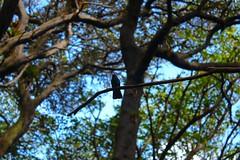 A perched hummingbird, Poás Volcano National Park / Un colibrí posado, Parque Naciónal Volcán Poás