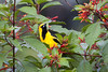 Yellow-tailed Oriole by Hyde-Sultze