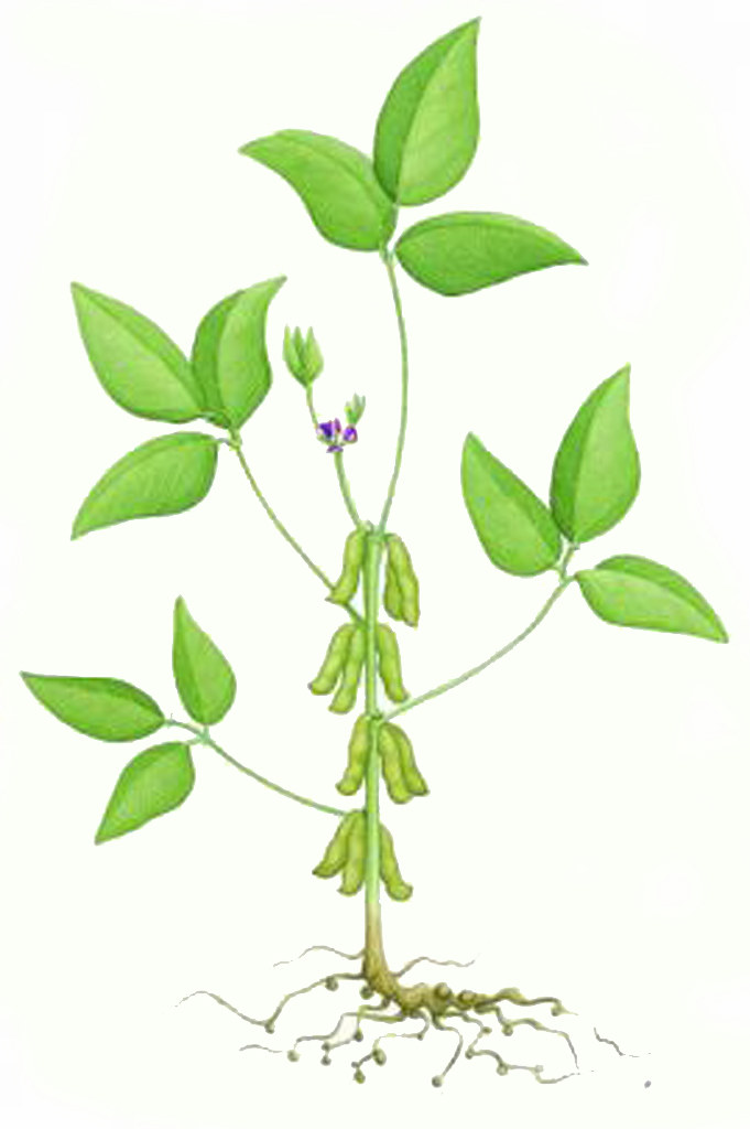 Diagram of soybean plant   Diagram of soybean plant for ...