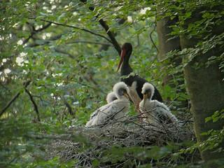 Black Stork (Ciconia nigra), Eastern Ardennes, Belgium | by Frank.Vassen