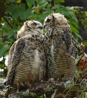 More of the Owl make out session | by A. Drauglis