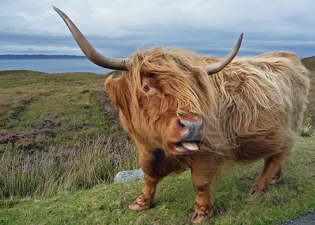 Highland Cow (aka Tourist Magnet),  Lonbain just north off Applecross,  Wester Ross,  Scotland