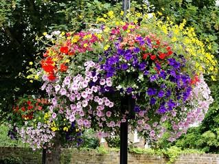 Hanging Baskets of Petunia Flowers in Sunbury | by Maxwell Hamilton