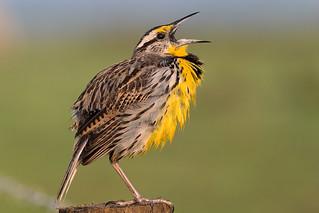 Eastern Meadowlark calling   by Photomatt28